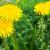 Kyste ovarien et Pissenlit : traitement naturel
