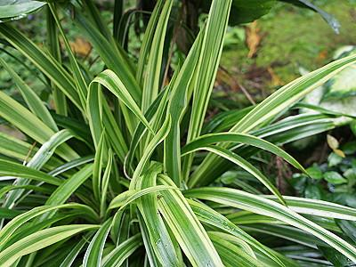 Chlorophytum borivilianum traite l azoospermie