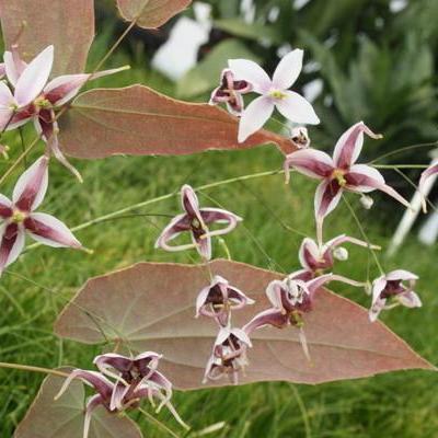 Epimedium acuminatum sperme