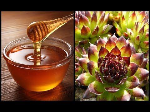 Joubarbe et miel contre les fibromes