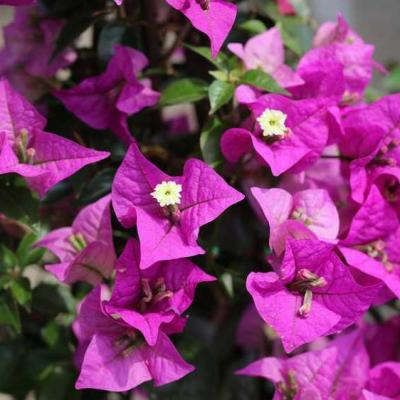 Bougainvillea stems against hepatitis